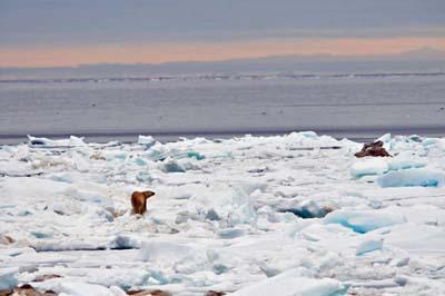 Polar Bear on the ice.