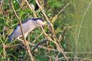 Black-crowned Night Heron.