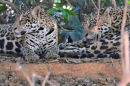 Jaguars.