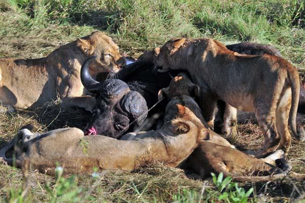 Lion pride with kill