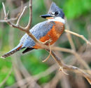 Ringed Kingfisher.