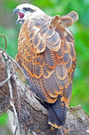 Black Collared Hawk.