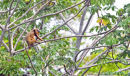 Black Howler Monkey.