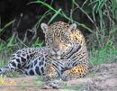 Jaguar in the open.
