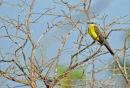 White-throated Kingbird.