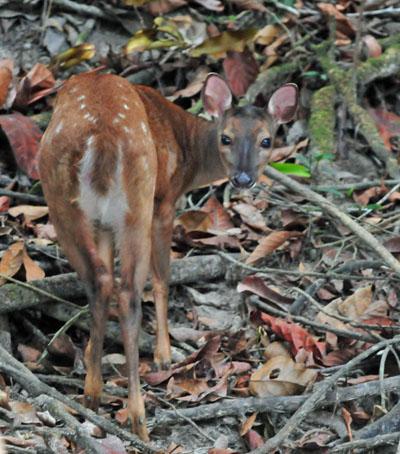 Red Brocket Deer.