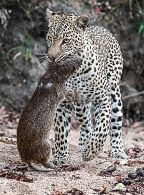 Leopard with Cane Rat