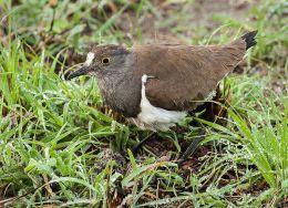 Lesser Blackwinged Plover