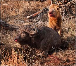 Lion resting during Buffalo kill