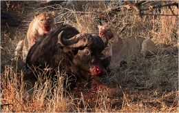 Lions killing a Buffalo