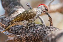 Golden-tailed Woodpecker