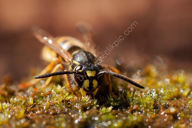 Wasp drinking from Moss