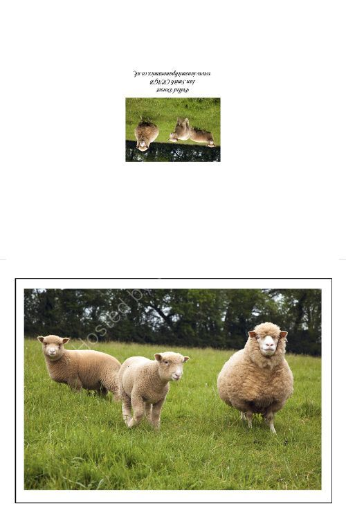 Polled Dorset Sheep