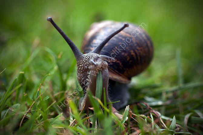 Snail eating grass