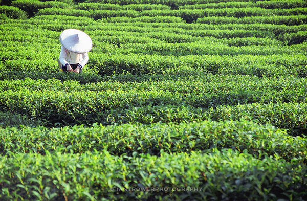 Tea picker in plantation, Taiwan
