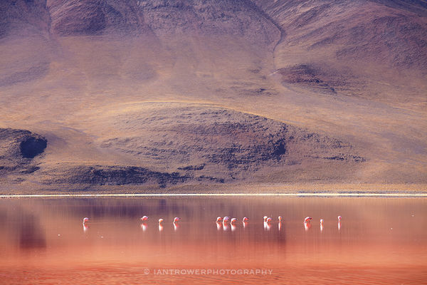 Flamingoes at Laguna Colorada