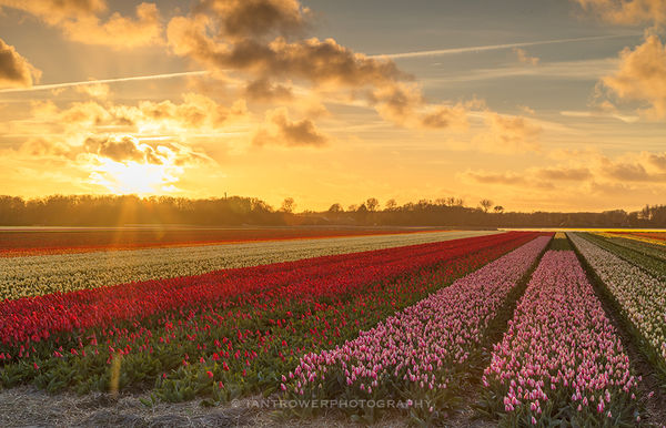 Tulip fields at sunset, Lisse, Netherlands