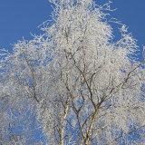 frosty silver birch