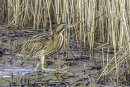 1st Bittern Clearing The Way Don Smith