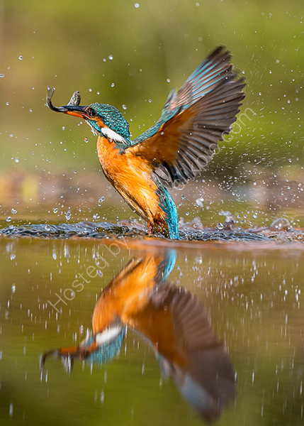 1st Kingfisher with fish Joan Sheppard
