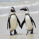 1st. African penguins paddling