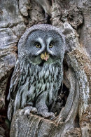 1st. Great grey owl with lunch