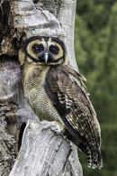 1st. Portrait of an Asian Brown Barn Owl