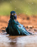 1st  South African Glossy Starling bathing Joan Sheppard