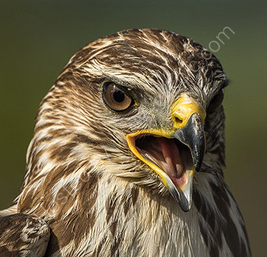 1st. Buzzard's beak