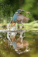 2nd Joan Sheppard Kingfisher reflection