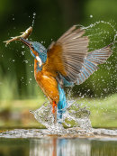 2nd Joan Sheppard Kingfisher with fish