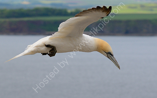 2nd. Gannet searching
