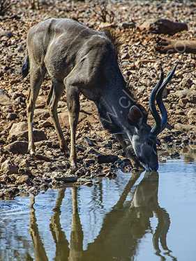 2nd. Kudu at waterhole
