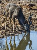 2nd. Kudu at waterhole