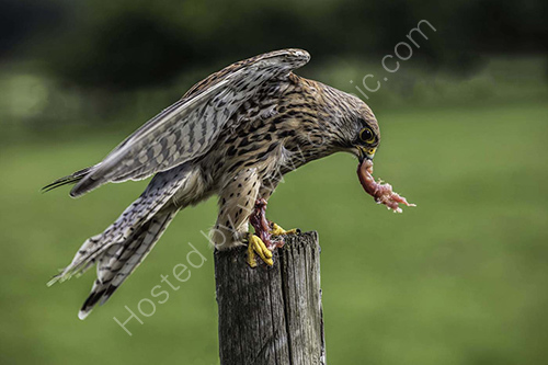 2nd. Kestrel after the hunt