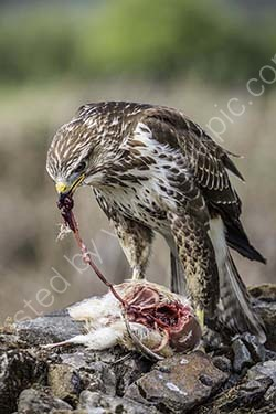 3rd. Buzzard's meal