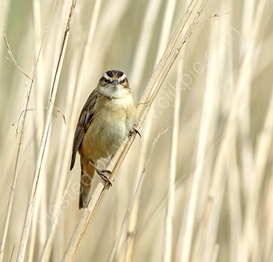 3rd. Sedge warbler in the reeds