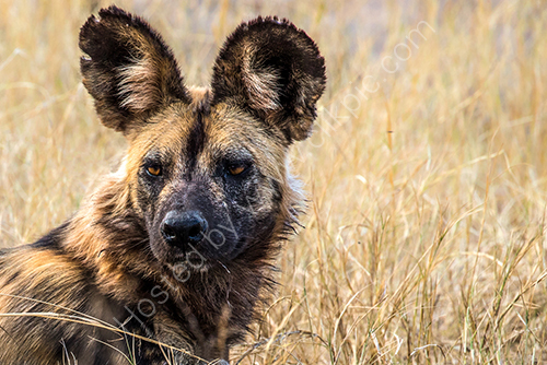 HC. African wild dog alpha male