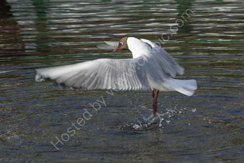 Ballerina gull