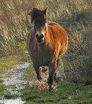 Charging pony, Prestwick Carr