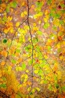 HC. Autumn birch, Strid Wood