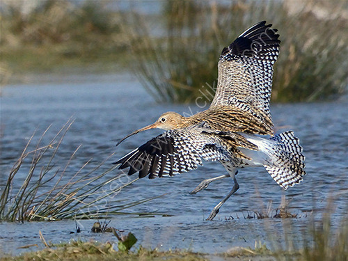 HC. Curlew take-off