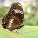 HC. Eupioea core butterfly