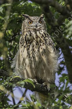 HC. Eagle owl