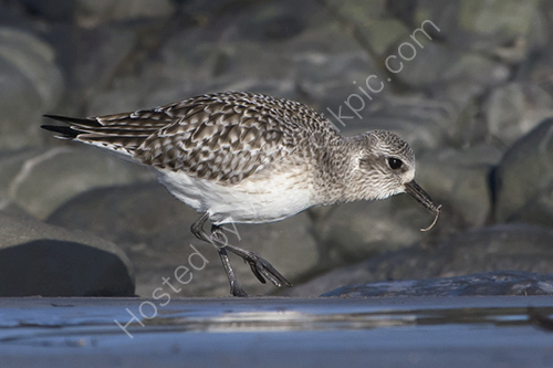 HC. Grey plover with worm