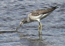 HC. Greenshank fishing