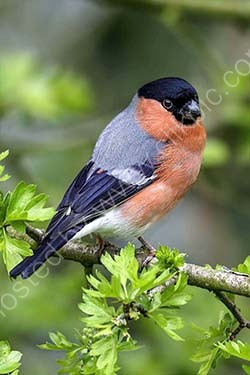 HC. Portrait of a bullfinch
