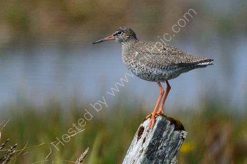 HC. Redshank on look out