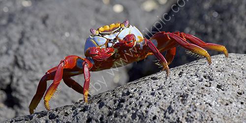 HC. Sally Lightfoot crab