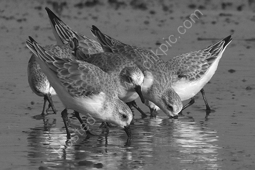 HC. Sanderlings social foraging